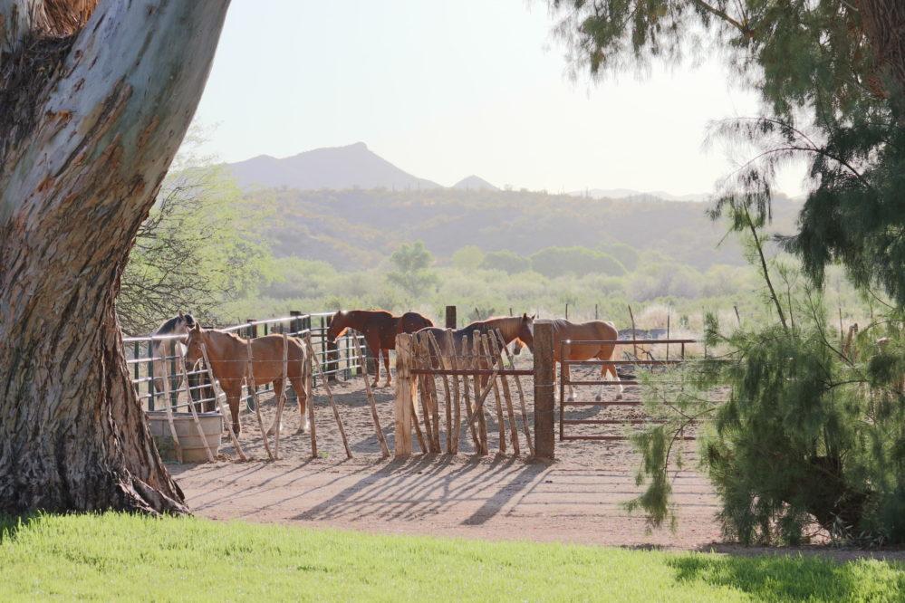Kay El Bar horses in corral