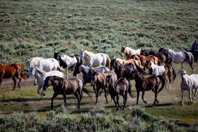 Absaroka Horses Running