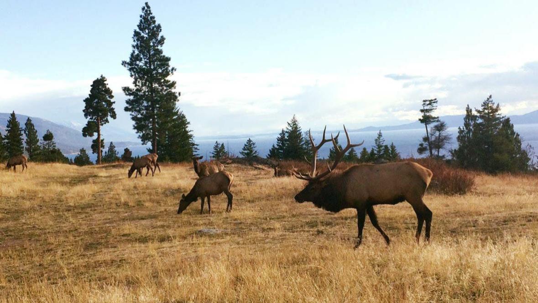 Elk bull and cows at Averills Ranch