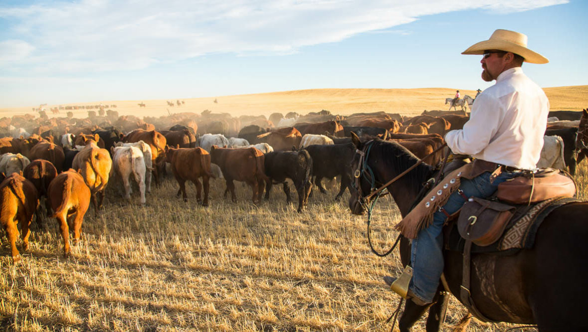 Cowboy on a cattle drive at Bar W Ranch