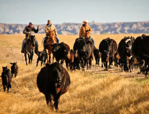Cattle drive at Blacktail Ranch