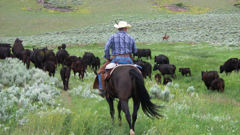 Cattle drive at Bonanza Creek Ranch