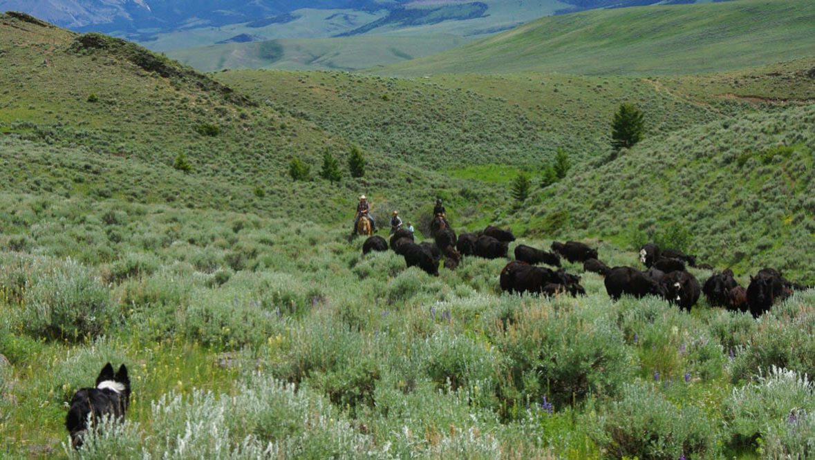 Cattle drive with a dog at Bonanza Creek Ranch