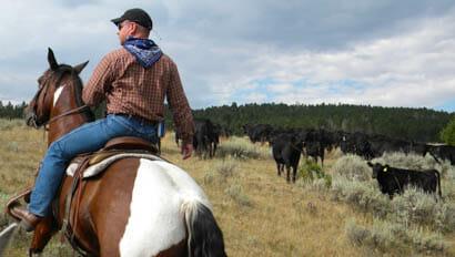 Cowboy driving cattle at Bonanza Creek Ranch