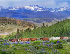 Horses green field snow capped mountains and wildflowers
