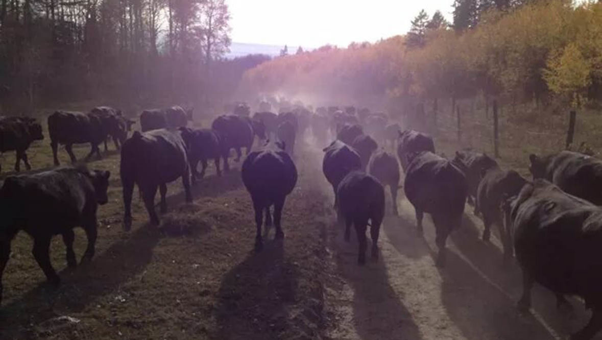 Cattle drive at McGarry Ranches
