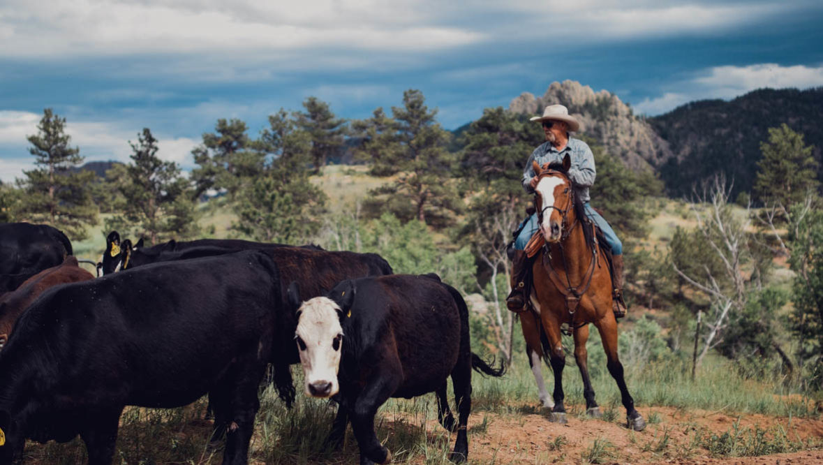 Cowboy driving cattle at Cherokee Park Ranch