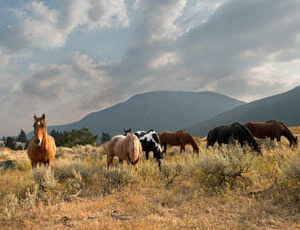 Horses grazing in a pasture at Hawley Mountain Guest Ranch