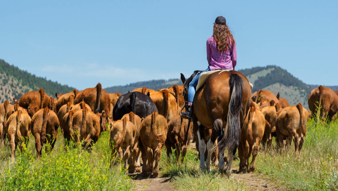 Cowgirl driving cattle at Hidden Hollow Ranch