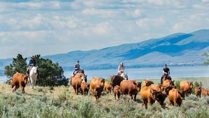 Cattle drive at Hidden Hollow Ranch