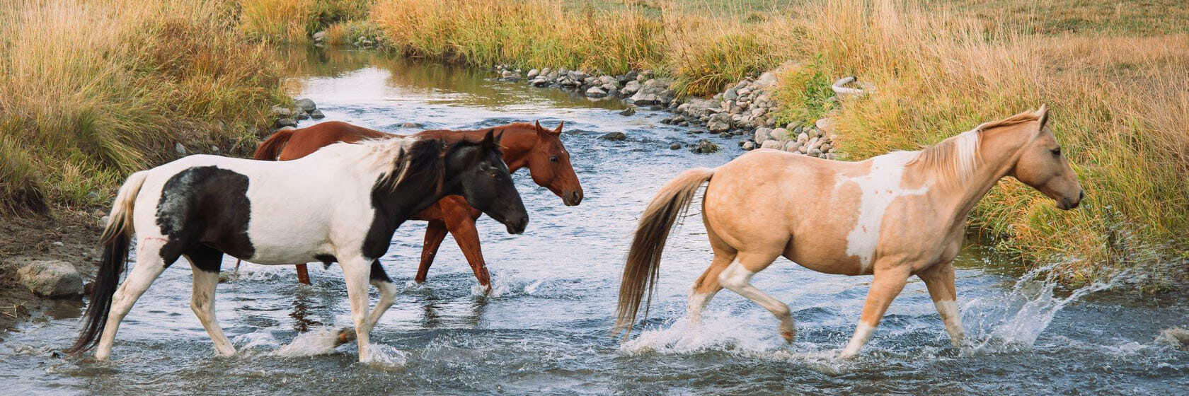 Horses crossing a river at K Diamond D Ranch