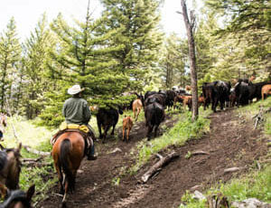 Cattle drive amongst trees at Hubbards Ranch