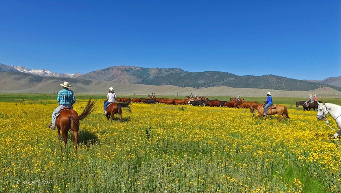 Hunewill Ranch Riders moving cows on horses through yellow field