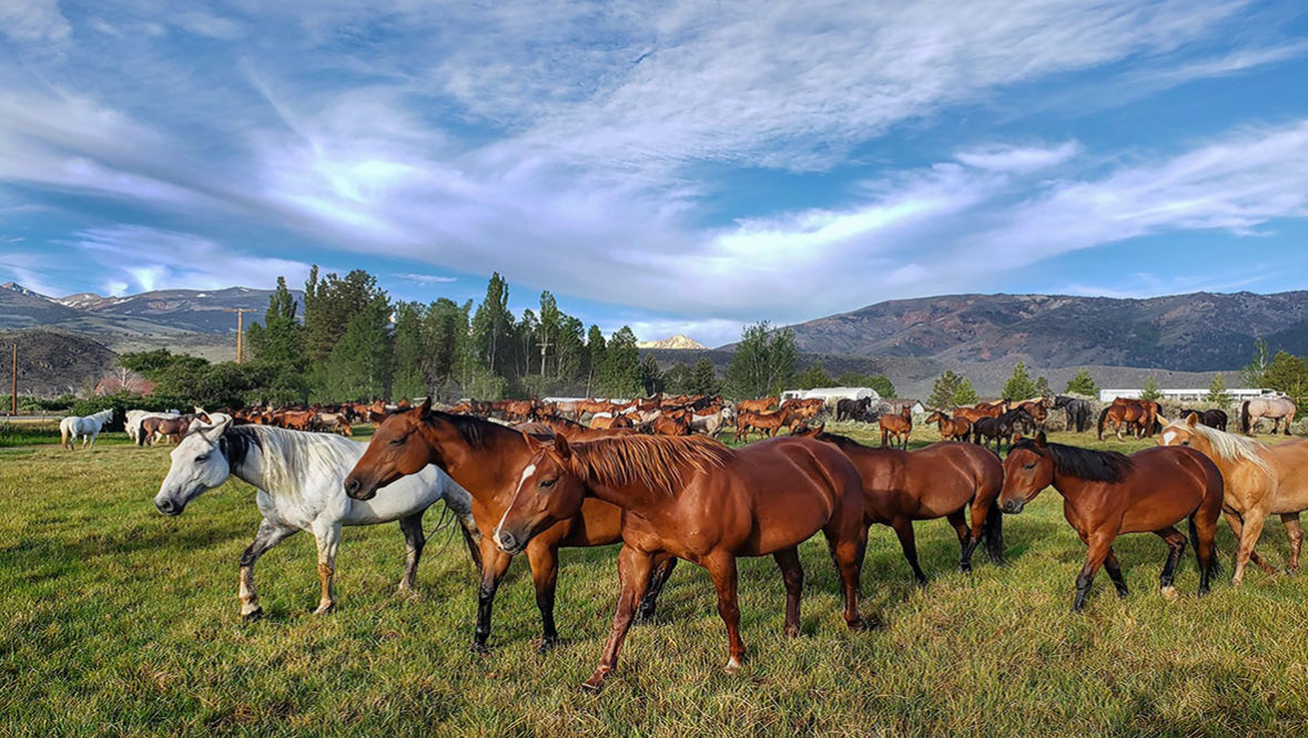 Hunewill Ranch group of horses out in pasture