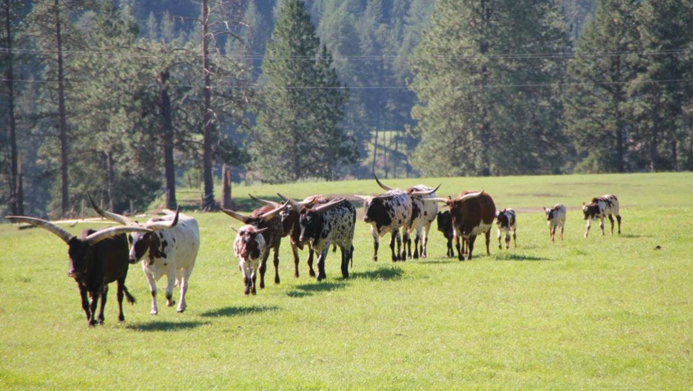 Cows walking in a field at K Diamond K Ranch