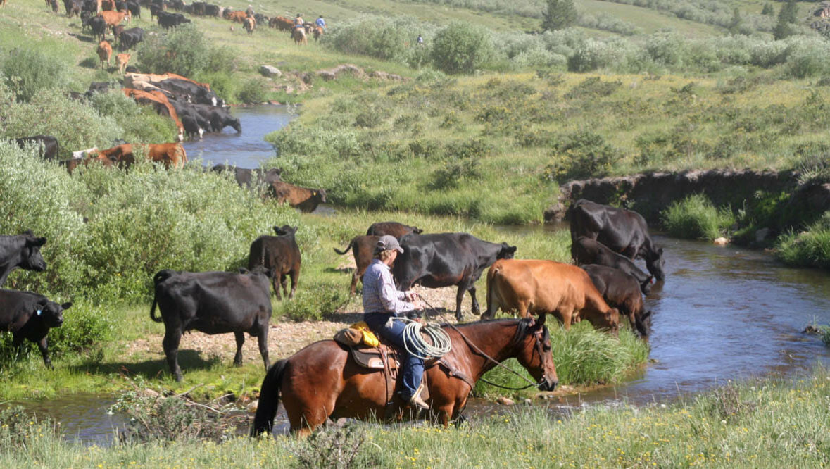 Cattle drive through a creek at Klondike Ranch