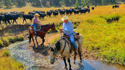 Cattle drive through a river at Klondike Ranch