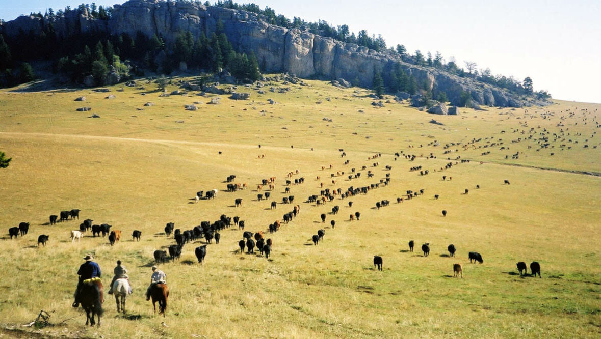 Cattle drive at Klondike Ranch