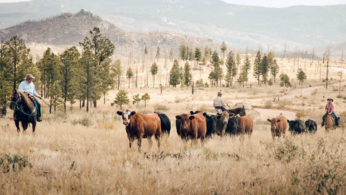 Cattle drive at Lost Valley Ranch