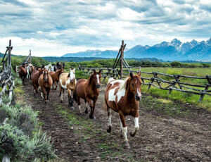 Gather of horses at Moosehead Ranch