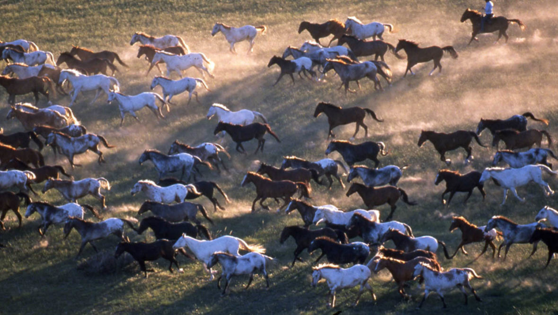 Gather of horses running at Nine Quarter Circle Ranch