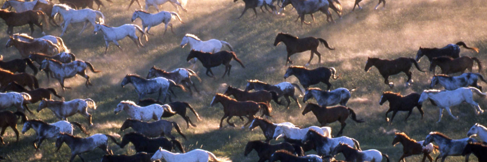 Large group of horses running