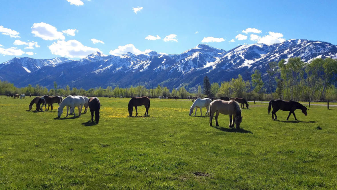 Horses grazing in front of the Tetons at R Lazy S Dude Ranch