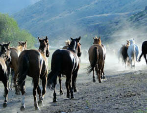 Gather of horses at Rocking Z Ranch