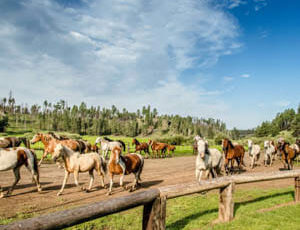 Horse running in a herd at Sprucedale Guest Ranch