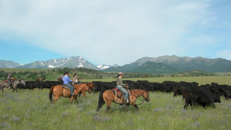 Sweet Grass Ranch cattle drive