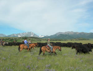 Sweet Grass Ranch cattle drive