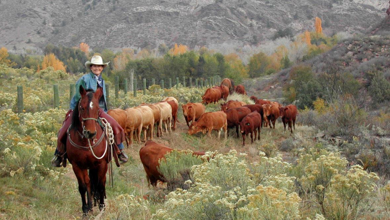 Sylvan Dale Ranch Cattle Drive