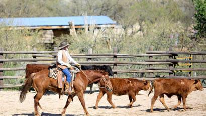 Tanque Verde Ranch team penning