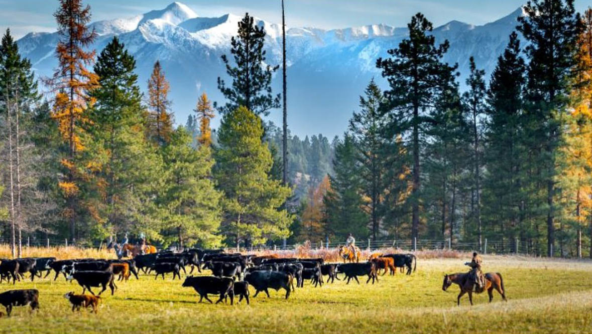 Three Bars Ranch cattle drive