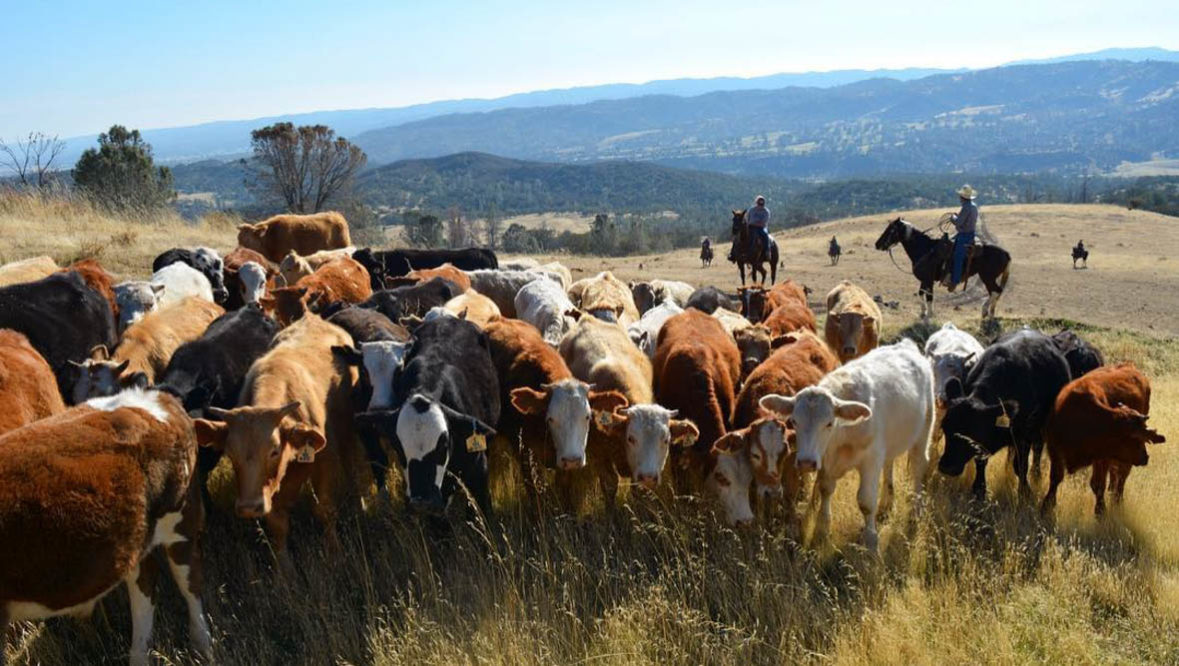 V6 Ranch cattle drive