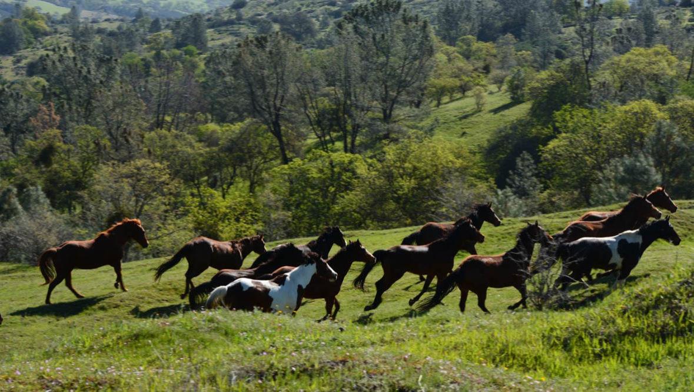 V6 Ranch heard of horses running