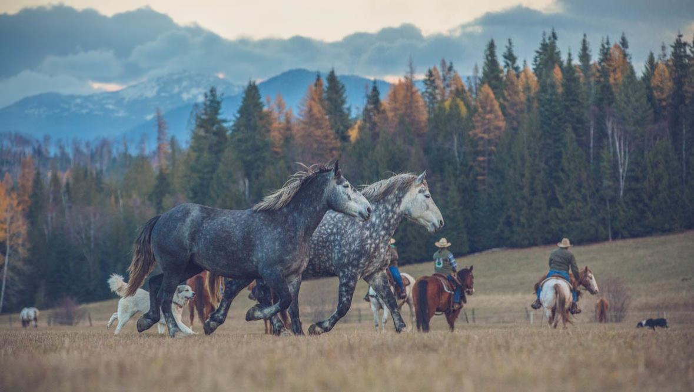 Western Pleasure horses running
