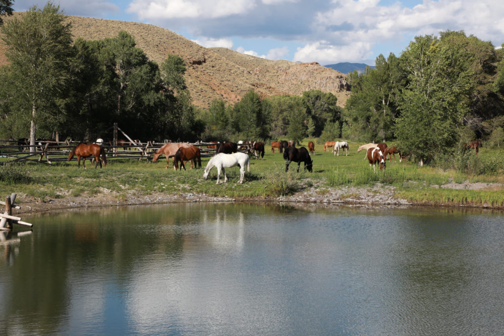 ranches grazing in green grass by pond
