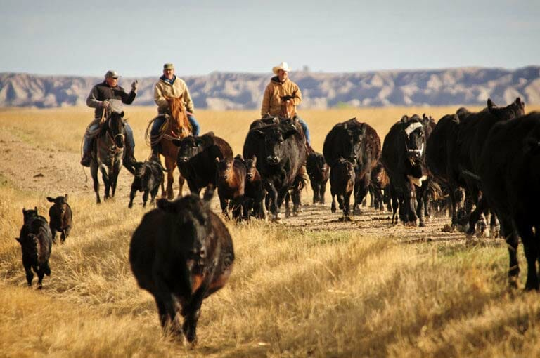 Blacktail Ranch Dude Ranch Cattle Drive