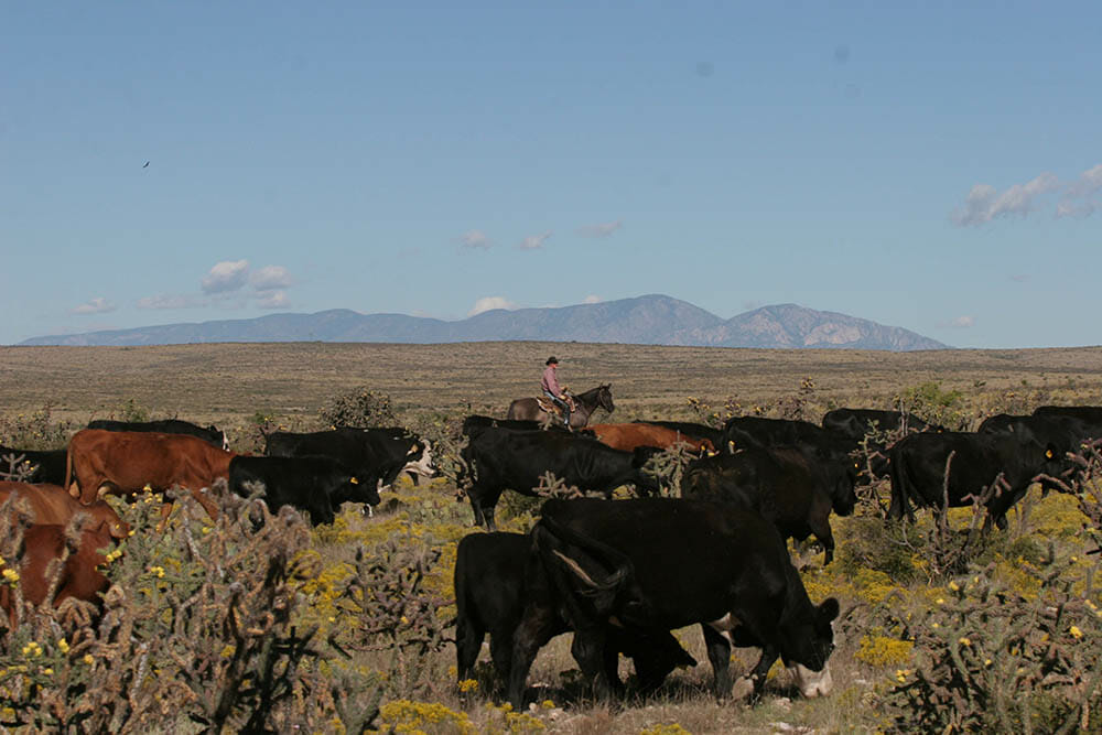 Working Cattle Dude Ranch