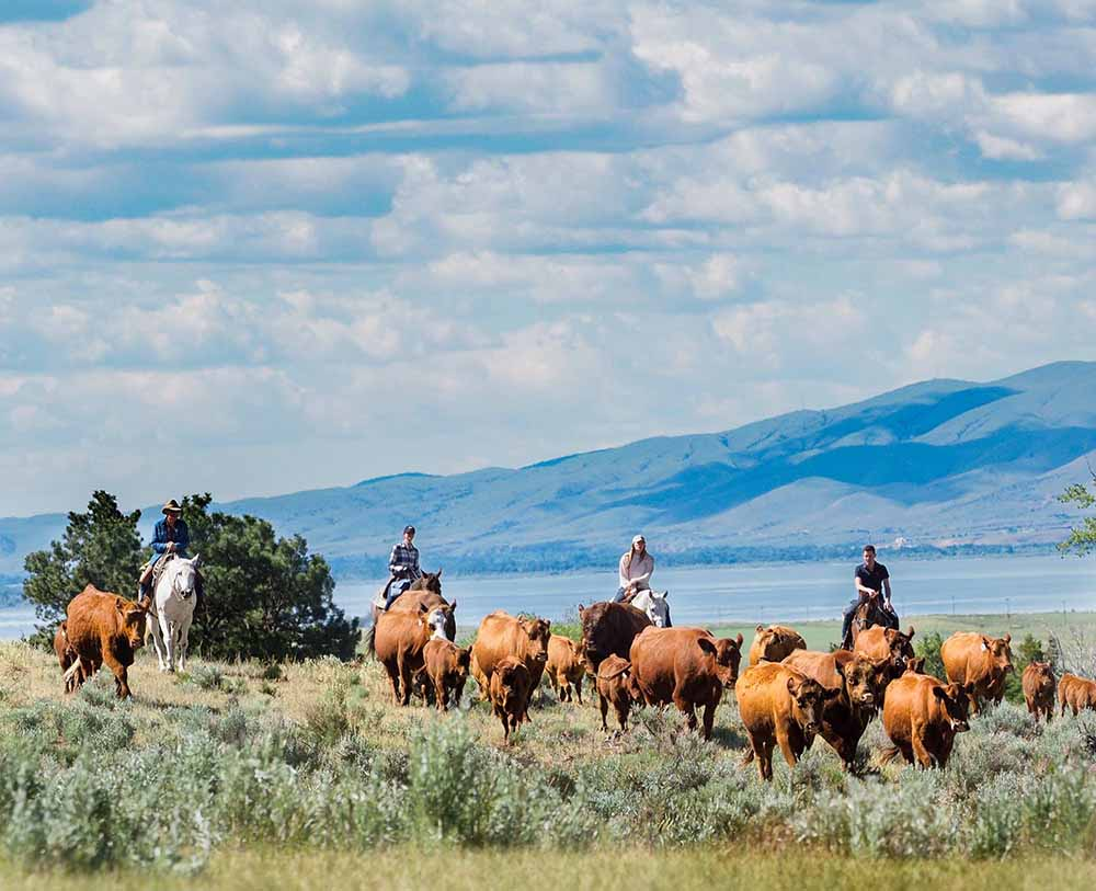 Hidden Hollow Hideaway Cattle Drive Near Bozeman Montana
