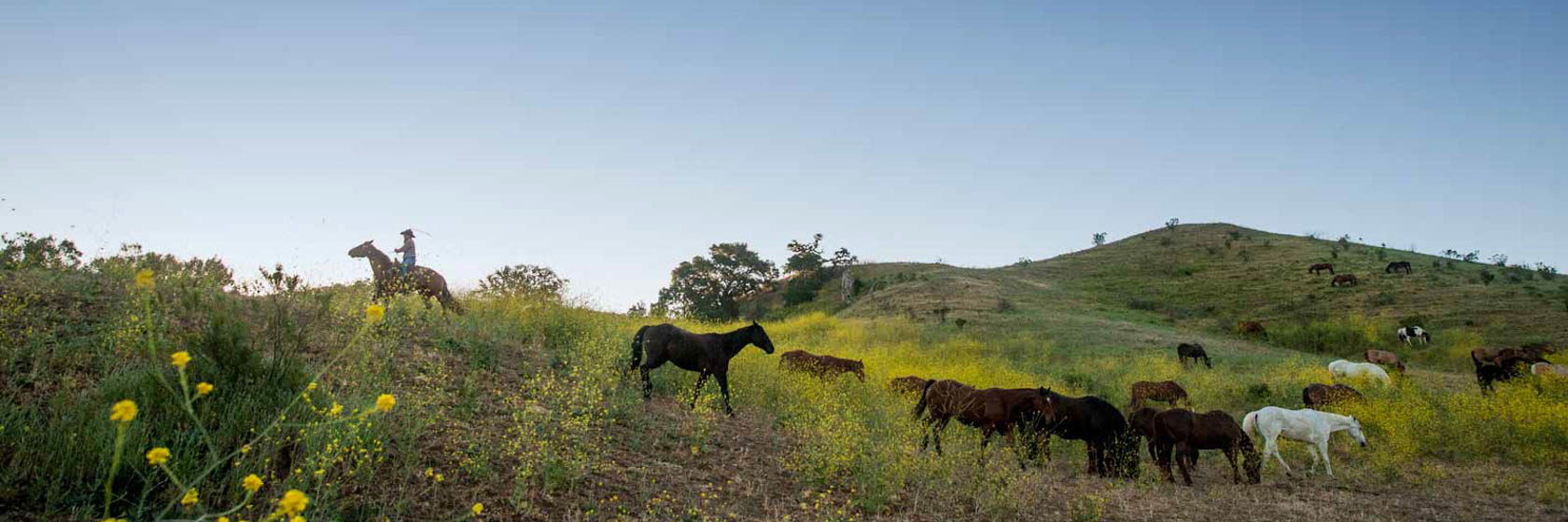 Horses grazing in a sunny field