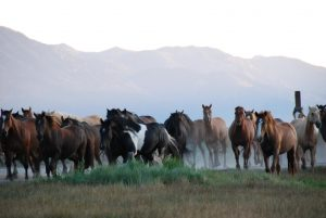 Hunewill Ranch California Herd of Horses