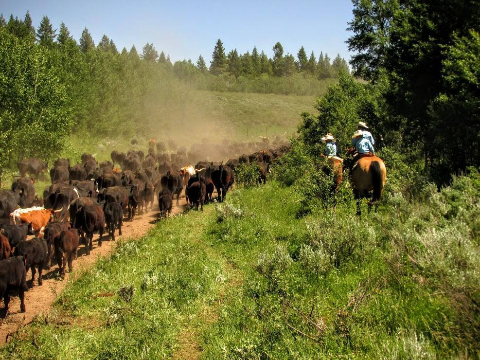 McGarry Ranches Idaho Dude Ranch Working Cattle