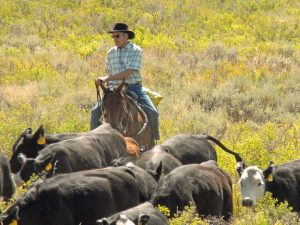 Discover Focus Ranch - Working Cattle