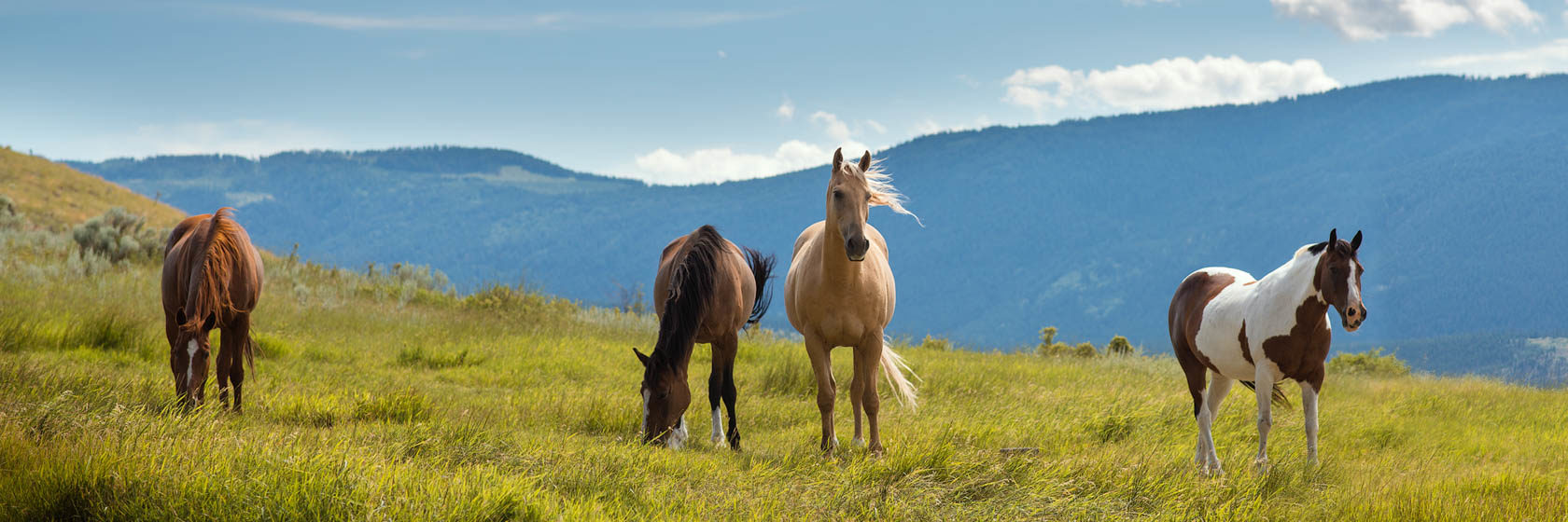 Retired horses grazing in a field
