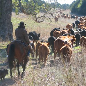 Rowses 1 + 1 Cattle Drive Horses`