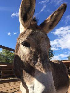 Sylvan Dale Ranch Clint the Donkey