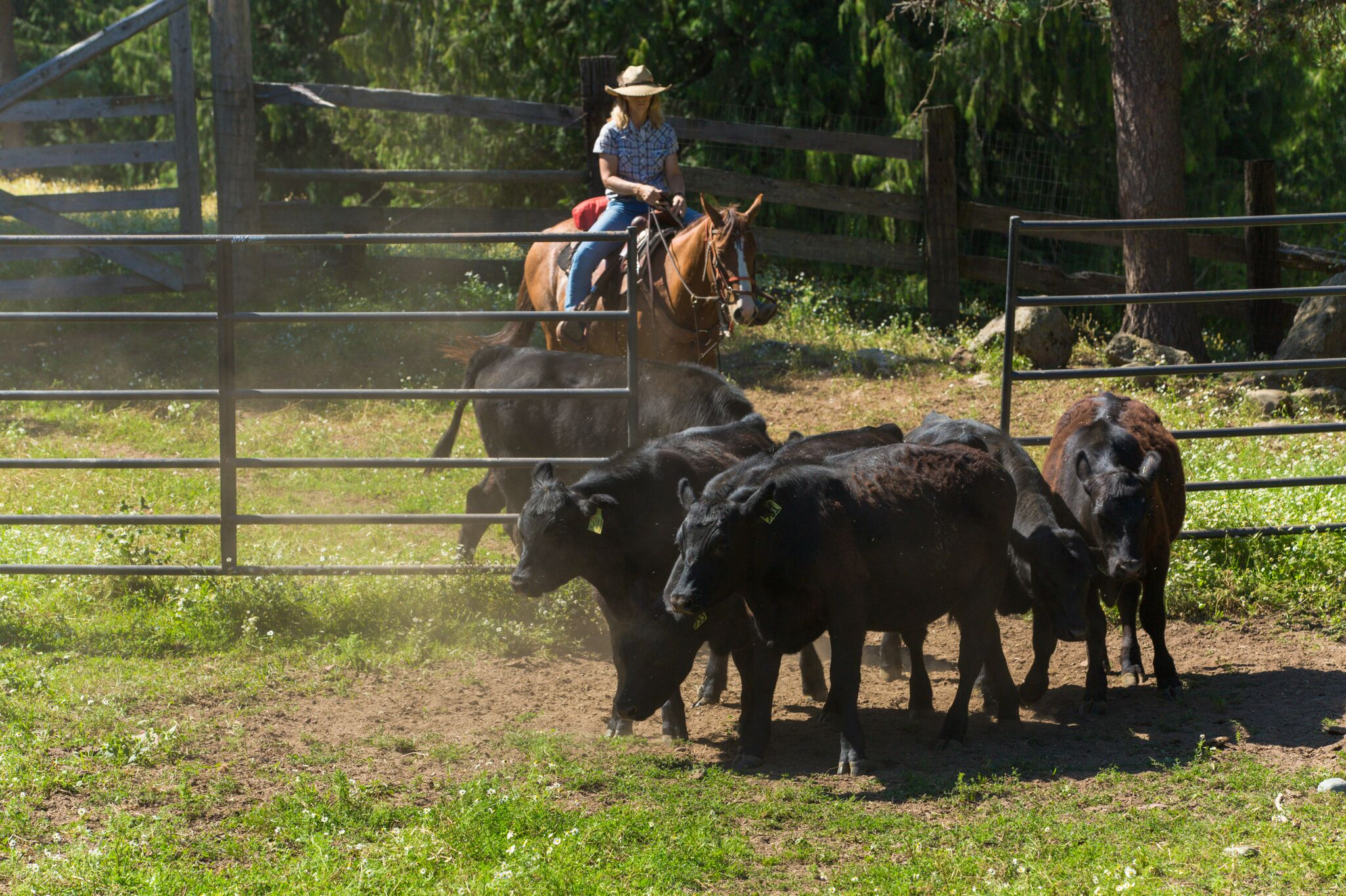 Western Pleasure Cattle Team Penning