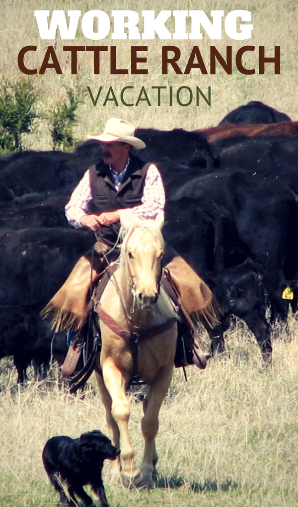 You still can be a cowboy. Take your next vacation to another level. Here are 5 cattle drives on a working cattle ranch you are sure to enjoy as an authentic cowboy.